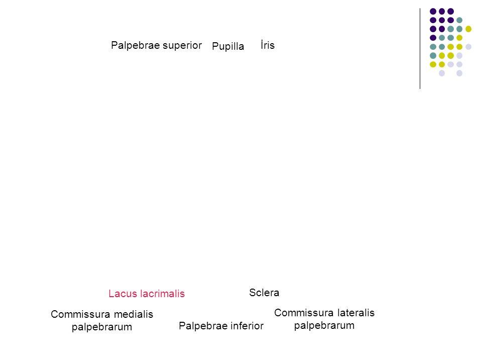 Palpebrae superior Palpebrae inferior Commissura lateralis palpebrarum Commissura medialis palpebrarum Lacus lacrimalis Sclera Pupilla İris