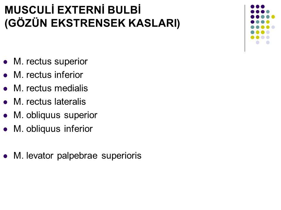 MUSCULİ EXTERNİ BULBİ (GÖZÜN EKSTRENSEK KASLARI) M. rectus superior M. rectus inferior M. rectus medialis M. rectus lateralis M. obliquus superior M.