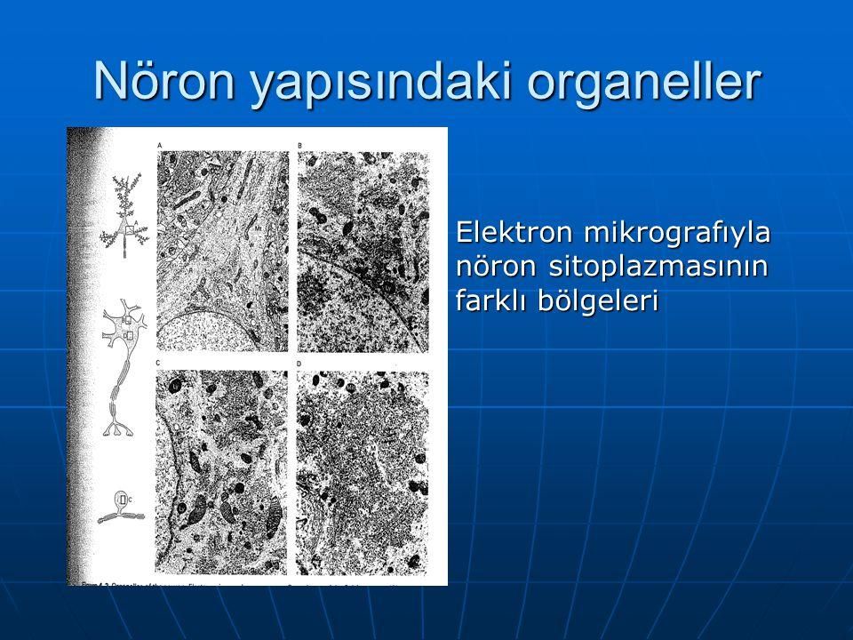 Nöron yapısındaki organeller Elektron mikrografıyla nöron sitoplazmasının farklı bölgeleri