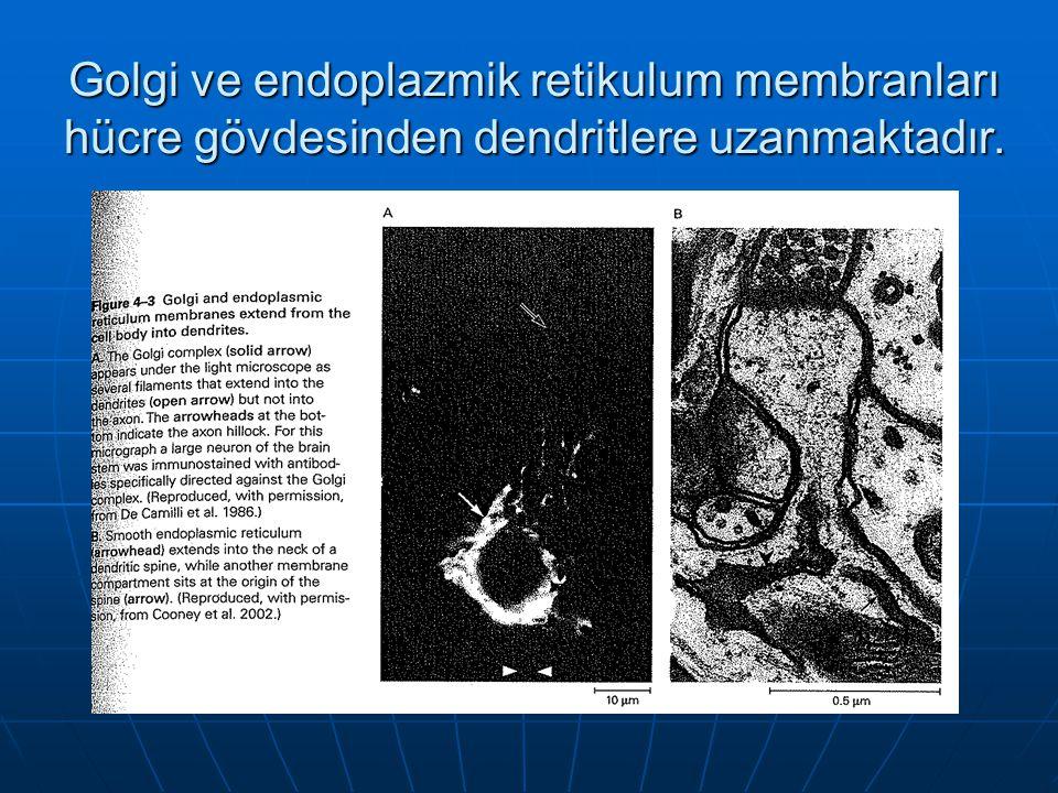 Golgi ve endoplazmik retikulum membranları hücre gövdesinden dendritlere uzanmaktadır.