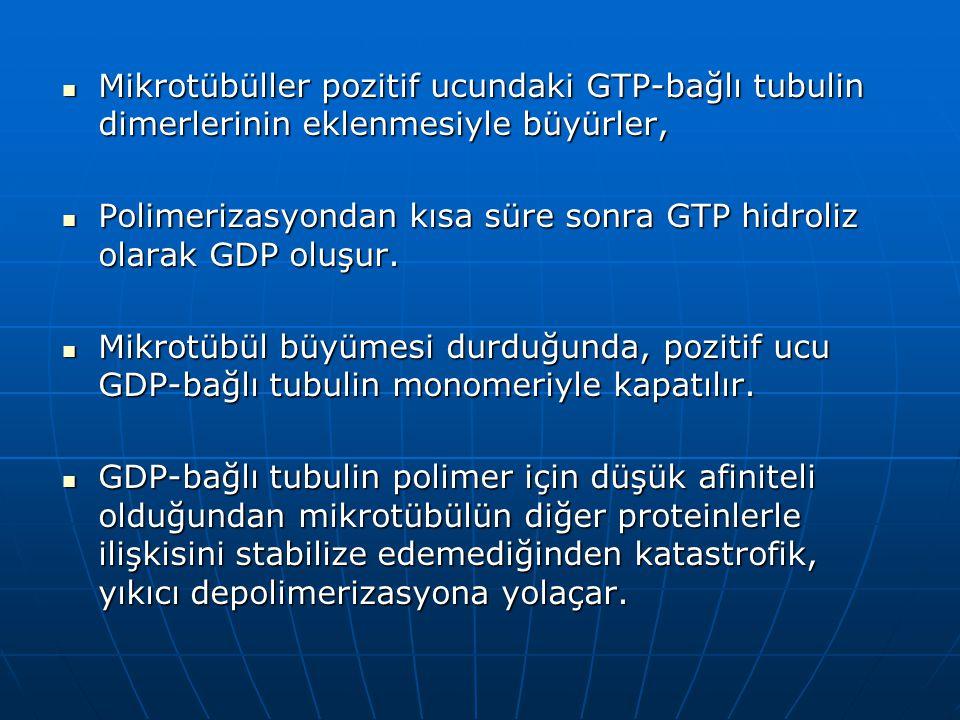 Mikrotübüller pozitif ucundaki GTP-bağlı tubulin dimerlerinin eklenmesiyle büyürler, Mikrotübüller pozitif ucundaki GTP-bağlı tubulin dimerlerinin eklenmesiyle büyürler, Polimerizasyondan kısa süre sonra GTP hidroliz olarak GDP oluşur.