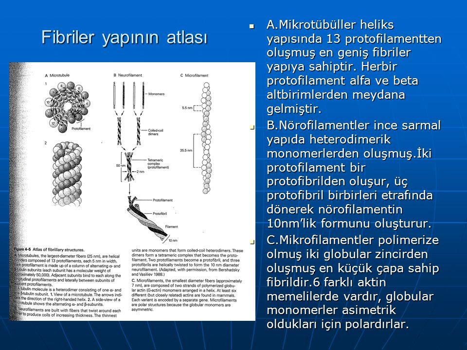 Fibriler yapının atlası A.Mikrotübüller heliks yapısında 13 protofilamentten oluşmuş en geniş fibriler yapıya sahiptir. Herbir protofilament alfa ve b