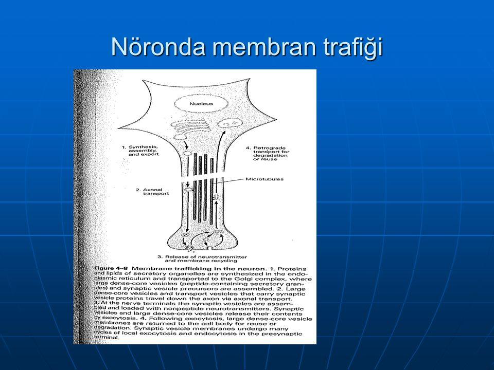 Nöronda membran trafiği
