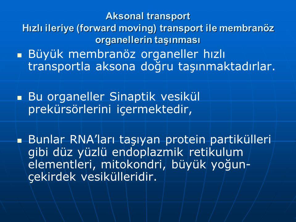 Aksonal transport Hızlı ileriye (forward moving) transport ile membranöz organellerin taşınması Büyük membranöz organeller hızlı transportla aksona doğru taşınmaktadırlar.