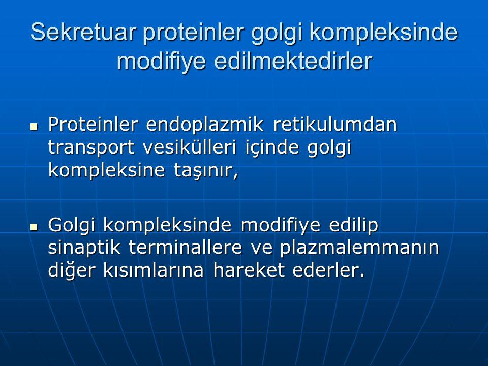 Sekretuar proteinler golgi kompleksinde modifiye edilmektedirler Proteinler endoplazmik retikulumdan transport vesikülleri içinde golgi kompleksine taşınır, Proteinler endoplazmik retikulumdan transport vesikülleri içinde golgi kompleksine taşınır, Golgi kompleksinde modifiye edilip sinaptik terminallere ve plazmalemmanın diğer kısımlarına hareket ederler.