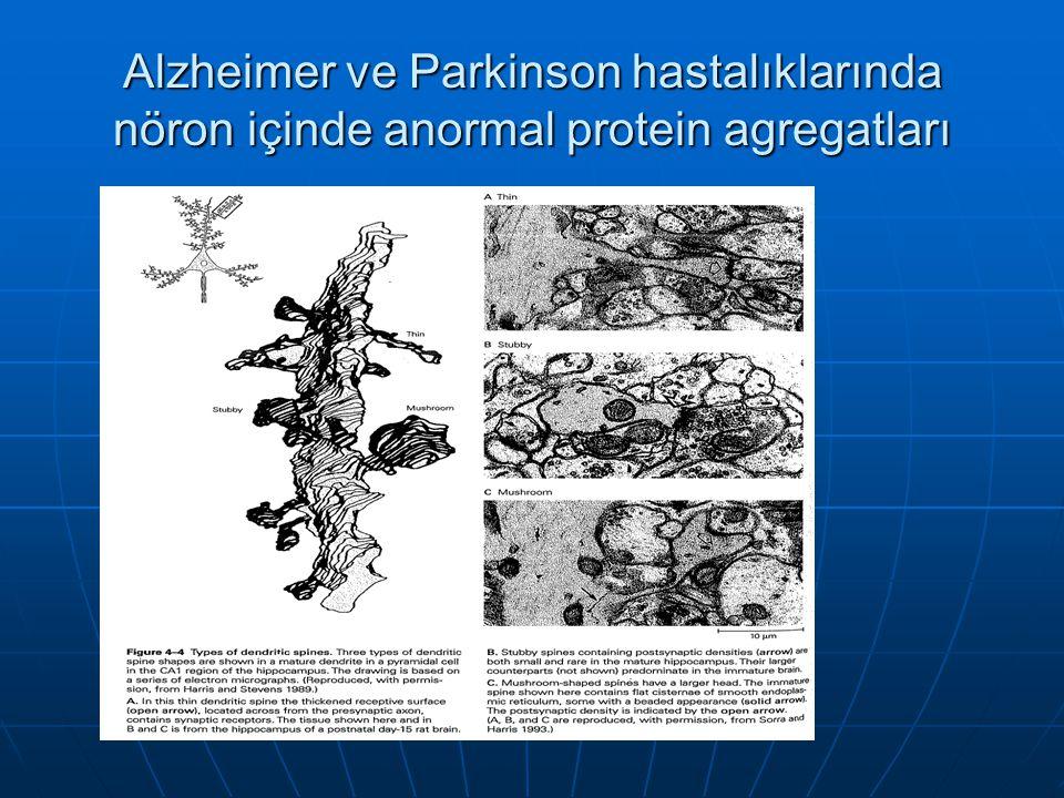 Alzheimer ve Parkinson hastalıklarında nöron içinde anormal protein agregatları