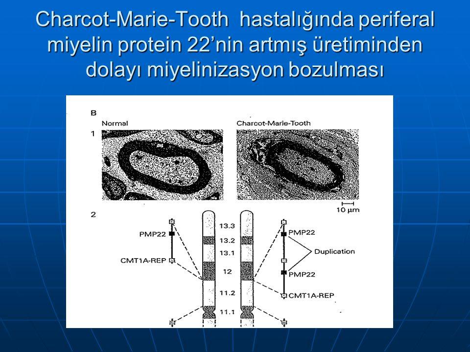 Charcot-Marie-Tooth hastalığında periferal miyelin protein 22'nin artmış üretiminden dolayı miyelinizasyon bozulması