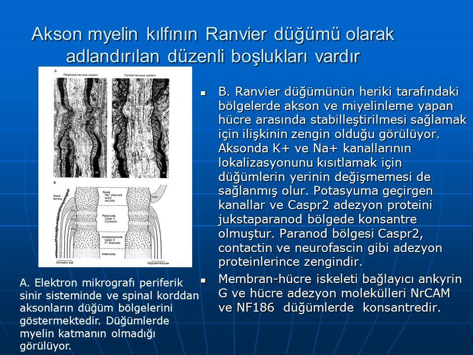 Akson myelin kılfının Ranvier düğümü olarak adlandırılan düzenli boşlukları vardır B. Ranvier düğümünün heriki tarafındaki bölgelerde akson ve miyelin