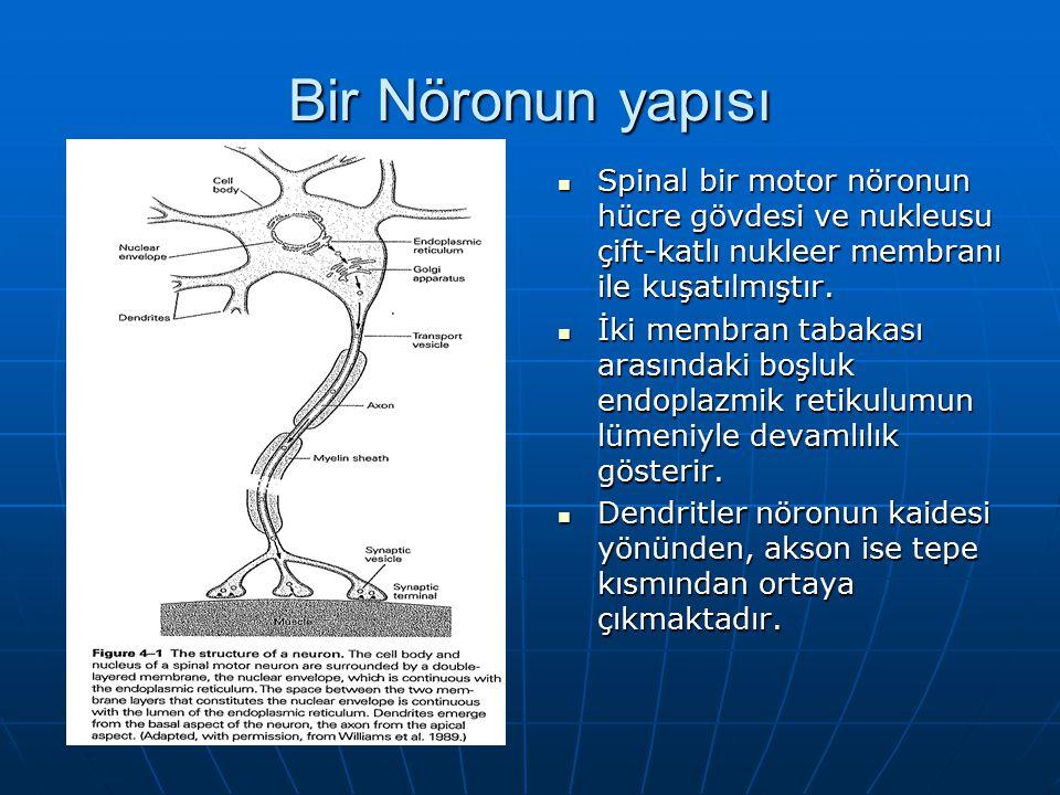 Bir Nöronun yapısı Spinal bir motor nöronun hücre gövdesi ve nukleusu çift-katlı nukleer membranı ile kuşatılmıştır.