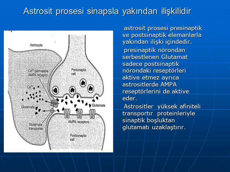 Astrosit prosesi sinapsla yakından ilişkilidir astrosit prosesi presinaptik ve postsinaptik elemanlarla yakından ilişki içindedir.