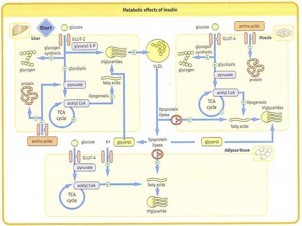 Glukoz Homeostazisinin Regülasyonu K.C ve kastaki glikojen sentezi K.C'deki glikojen degradasyonu Uzun süreli açlıklardaki prot.