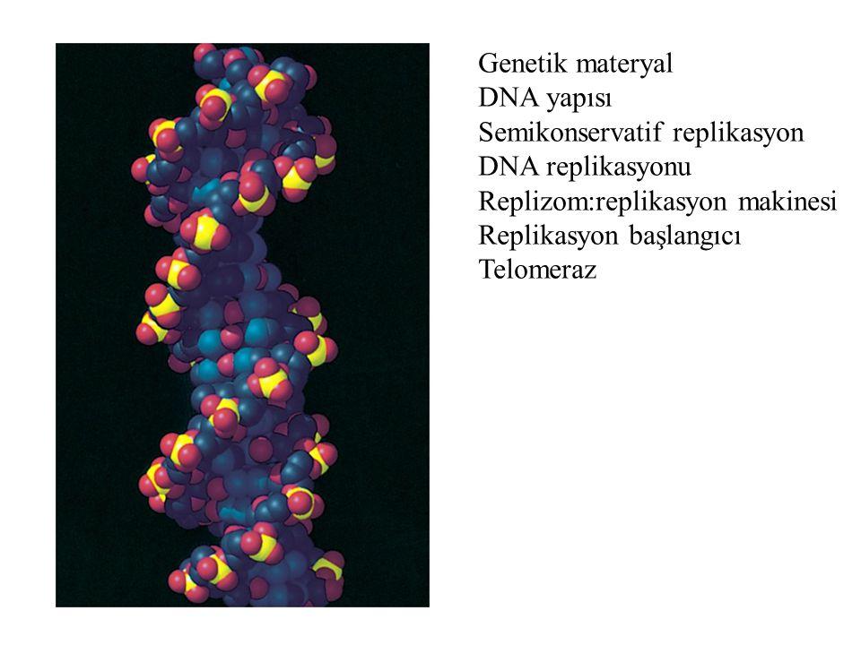 DNA zincirinin herbiriyeni kopyalar üretmek üzere kalıp görevi üstlenir Kalıp zincir Yeni sentezlenen zincir DNA çift heliksi