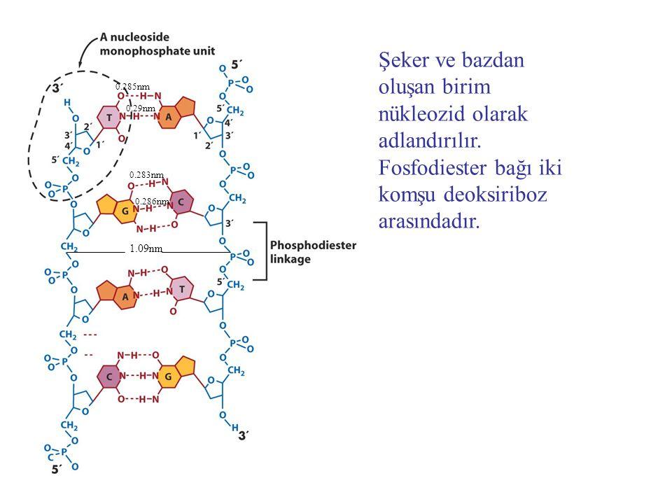 Büyük ve küçük oluklar DNA'ya proteinlerin bağlanmasını kolaylaştırırlar.