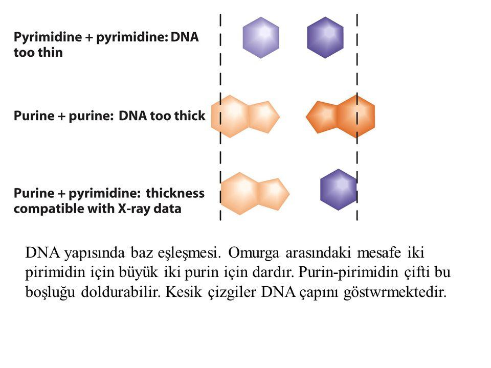 DNA geridönüşümlü zincir ayrımına gidebilir