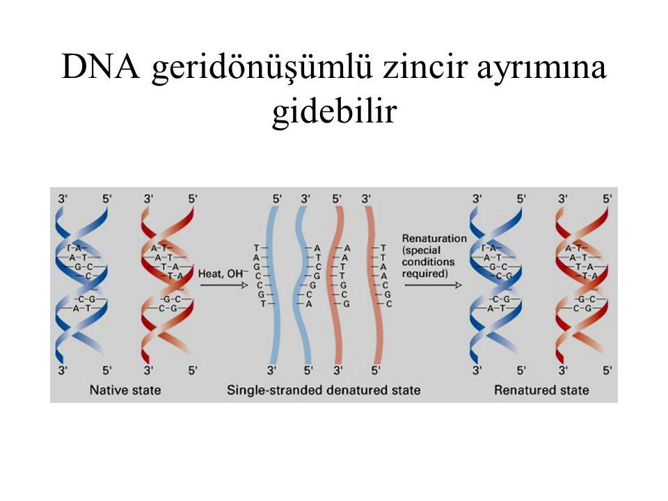 DNA replikasyonunda double heliksin iki zinciri ayrılır ve herbir zincir kalıp görevi görerek semikonservatif modelde replikasyonu sağlar