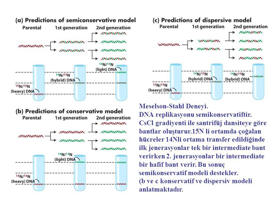 Meselson-Stahl Deneyi. DNA replikasyonu semikonservatiftir. CsCl gradiyenti ile santrifüj dansiteye göre bantlar oluşturur.15N li ortamda çoğalan hücr