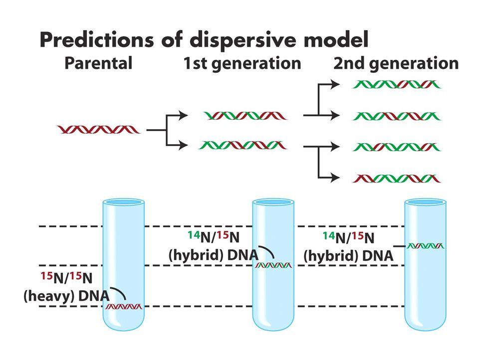 John Cairns 1963- Trityumlu timidinli ortamda bakteri hücrelerini büyüttü (3Htimidin).