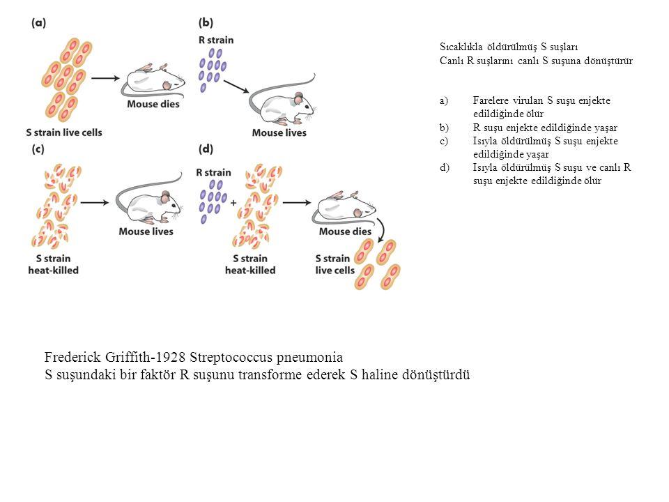R suşunu virulan yapan faktör DNA'dır.Oswald Avery-1944 Isıyla öldürülmüş S suşundaki hücre ekstrelerinde bulunan DNA bozulursa ve bu ekstre R suşuyla karıştırılırsa canlı nonvirulan R suşları fareyi öldürmez