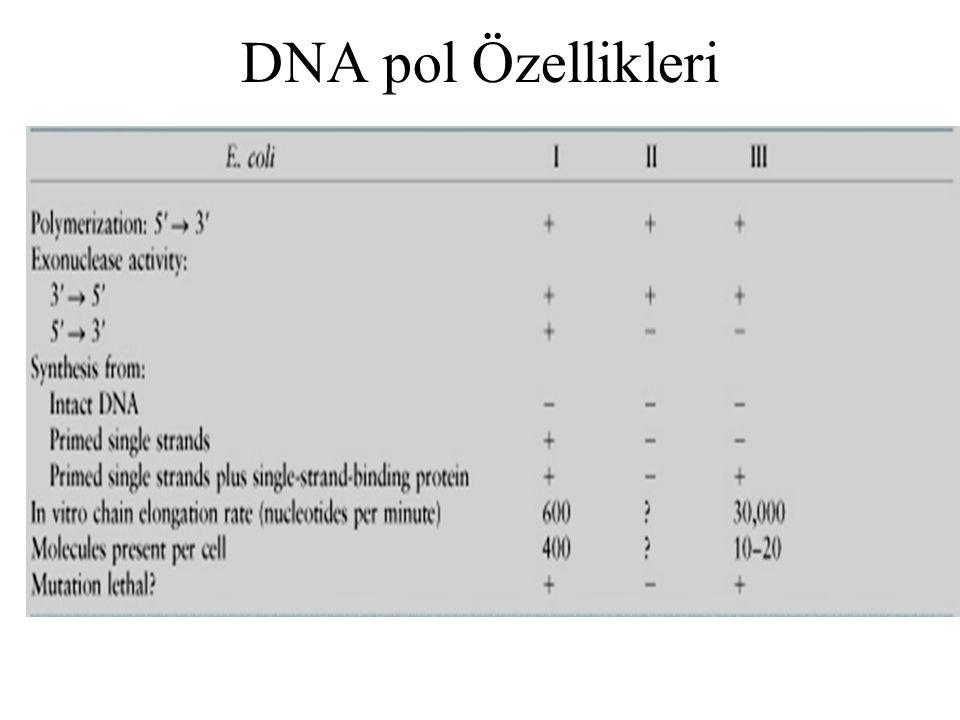 Maya DNA pol I, II, III pol α, β ve δ eşdeğerdir, I ve III hücrenin yaşamını sürdürmesi için önemlidir +pol β 20 nt açıklık bulunan DNA moleküllerinin sentezinde önemlidir ve onarımda görev alır FEN1 ökaryotlarda RNA primerini uzaklaştıran 5'-3'exonükelaz aktivitesine sahip enzimdir.E.coli DNA pol I enzimine benzer