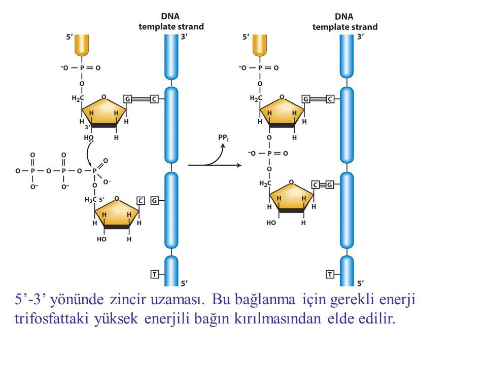 Replikasyon çatalı DNA sentezinde heliks boyunca ilerler Kesintisiz zincir sentezi duraksamadan replikasyon çatalı yönünde gerçekleşir Kesintili zincir sentezi ters yönde ilerler ve replikasyon çatalından uzaklaşarak zincir büyür.