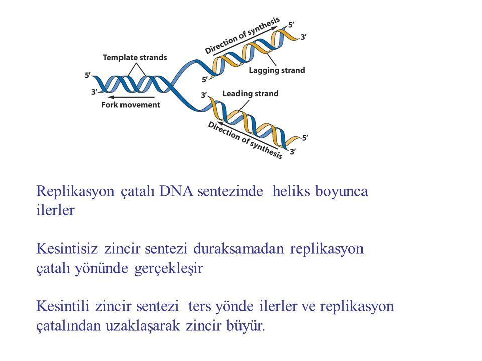 Primaz DNA'dan kopyaladığı kısa RNA primerleri sentezler DNA pol IIIRNA primerlerinin ucuna yeni DNA ile uzatır DNA pol I komşu fragmentlerin 5' ucundaki RNA'ları uzaklaştırır ve boşluğu doldurur.