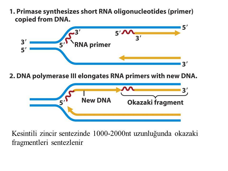 Kesintili zincir sentezinde 1000-2000nt uzunluğunda okazaki fragmentleri sentezlenir