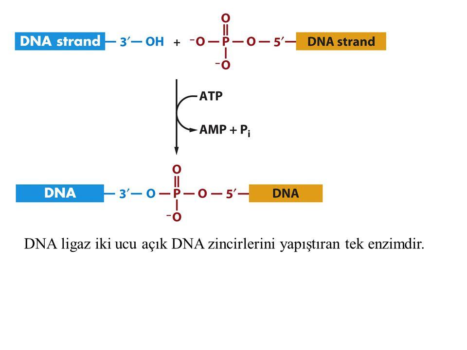 Replizom:DNA replikasyon Makinesi Topoizomeraz ve helikaz double heliksi açar Açılan tek zincirlere ssbp bağlanır ve iki zincirin yenşden birbirine bağlanmasını önler Primaz kısa RNA primerleri sentezler DNA pol III DNA sentezini gerçekleştirir.