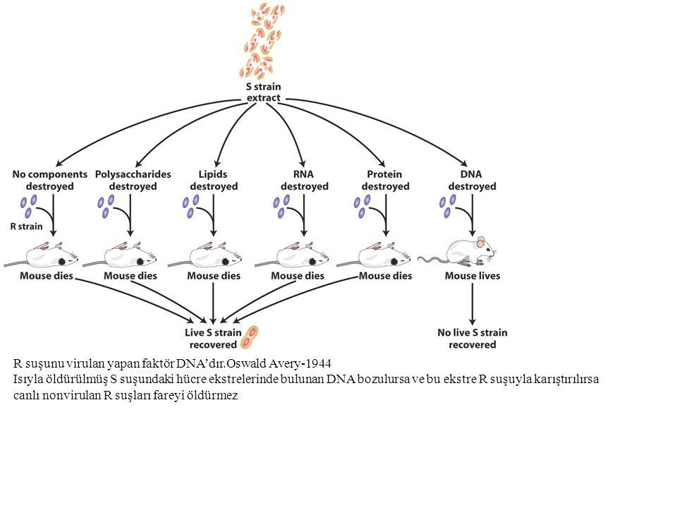 1952-Hershey-Chase Deneyi: Faj genetik materyaliprotein değil DNA'dır İki set bakteriyofaj T2 kullanıldı İlk sette protein kılıfı radyoaktif sülfür 35S ile (DNA yapısında bulunmaz) işaretlendi.