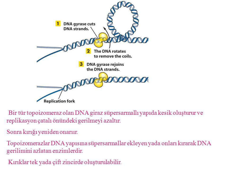 Replikasyon sırasında nükleozomların toplanması: Ökaryot ve prokaryotlarda replikasyon semikonservatiftir ve herikisinde de kesintili/siz zincir sentezi vardır.