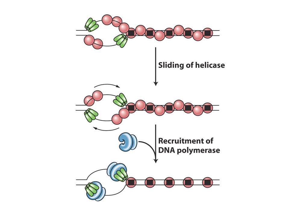 Bakterilerde replikasyon döngüsü 20-40dk da biter ama ökaryotlarda 1.4 saat mayada 24 saat kültüre hücrelerde ve 100-200 saat diğer hücrelerde sürer.Çünkü sadece birtek kromozomda sentez olmaz.