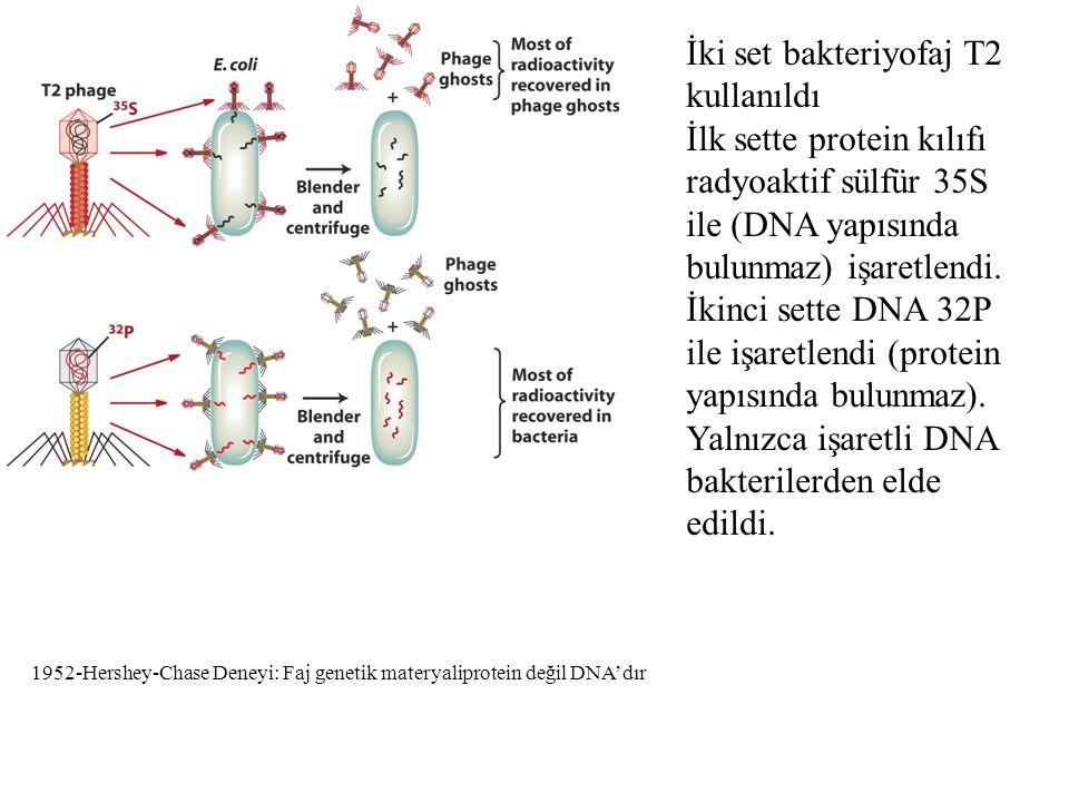 DNA Yapısı Watson-Crick 1953 DNA'nın üç temel bileşeni vardır Fosfat Deoksiriboz Azotlu 4 tane baz Bazlardaki karbon atom sayıları rakamlarla şekerdekiler 1',2' biçiminde gösterilir.