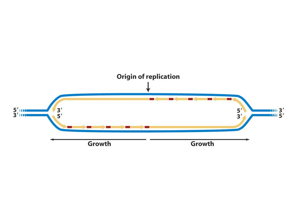 DNA pol mayada 3 noktada senteze başlar çift yönde ilerler zincir uzar sonra kardeş kromatidler oluşur.
