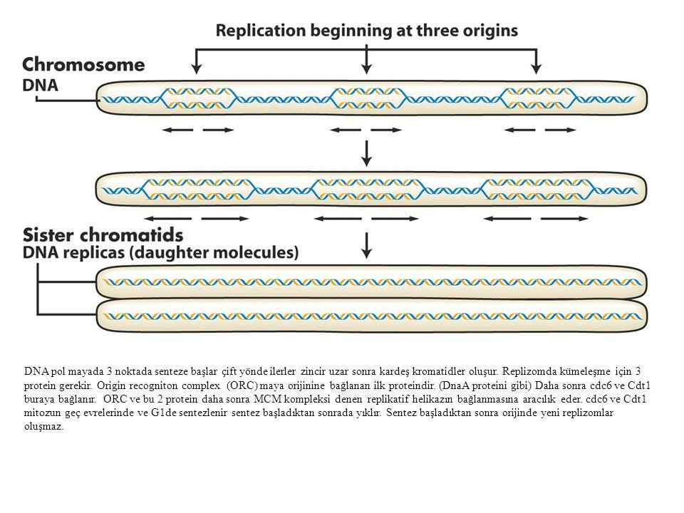 DNA pol mayada 3 noktada senteze başlar çift yönde ilerler zincir uzar sonra kardeş kromatidler oluşur. Replizomda kümeleşme için 3 protein gerekir. O