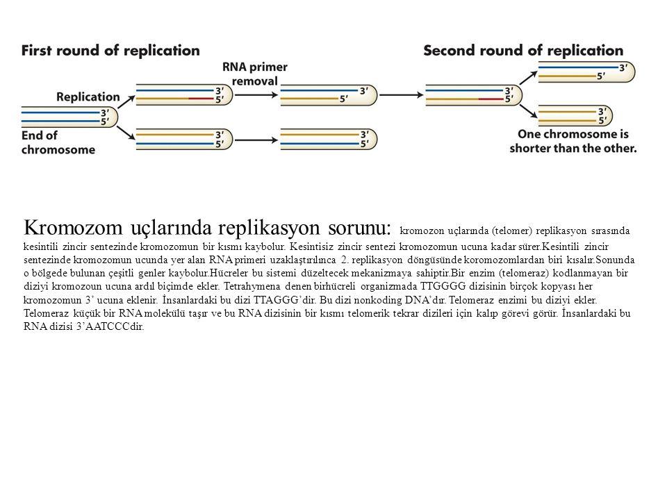 Kromozom uçlarında replikasyon sorunu: kromozon uçlarında (telomer) replikasyon sırasında kesintili zincir sentezinde kromozomun bir kısmı kaybolur. K
