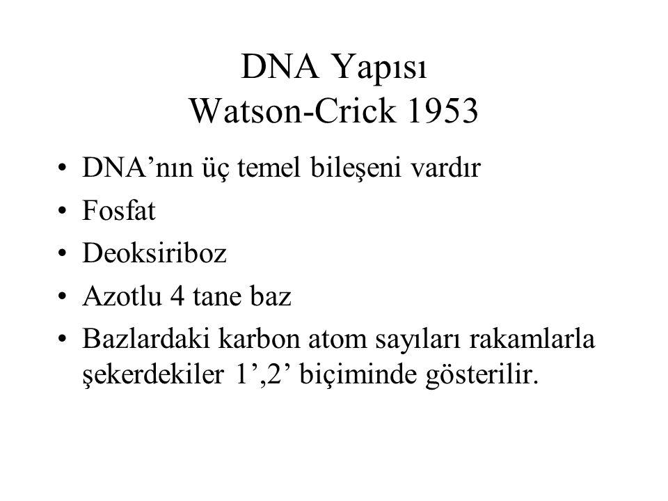DNA Yapısı Watson-Crick 1953 DNA'nın üç temel bileşeni vardır Fosfat Deoksiriboz Azotlu 4 tane baz Bazlardaki karbon atom sayıları rakamlarla şekerdek