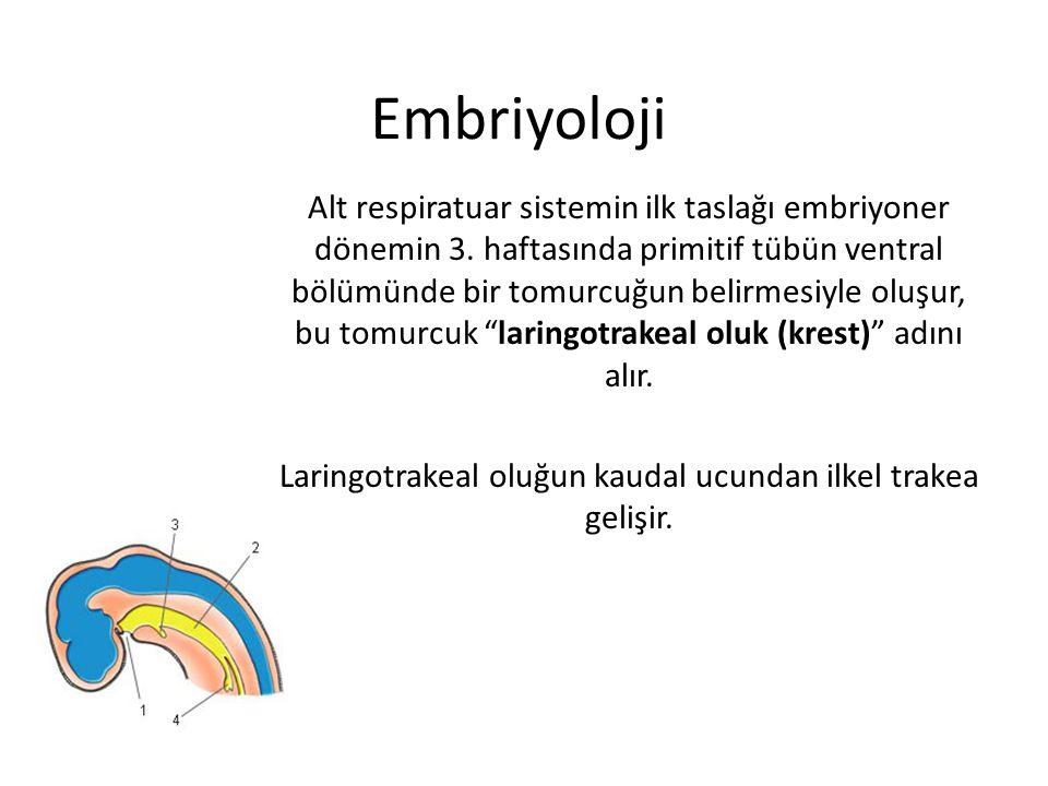 Embriyoloji Alt respiratuar sistemin ilk taslağı embriyoner dönemin 3. haftasında primitif tübün ventral bölümünde bir tomurcuğun belirmesiyle oluşur,