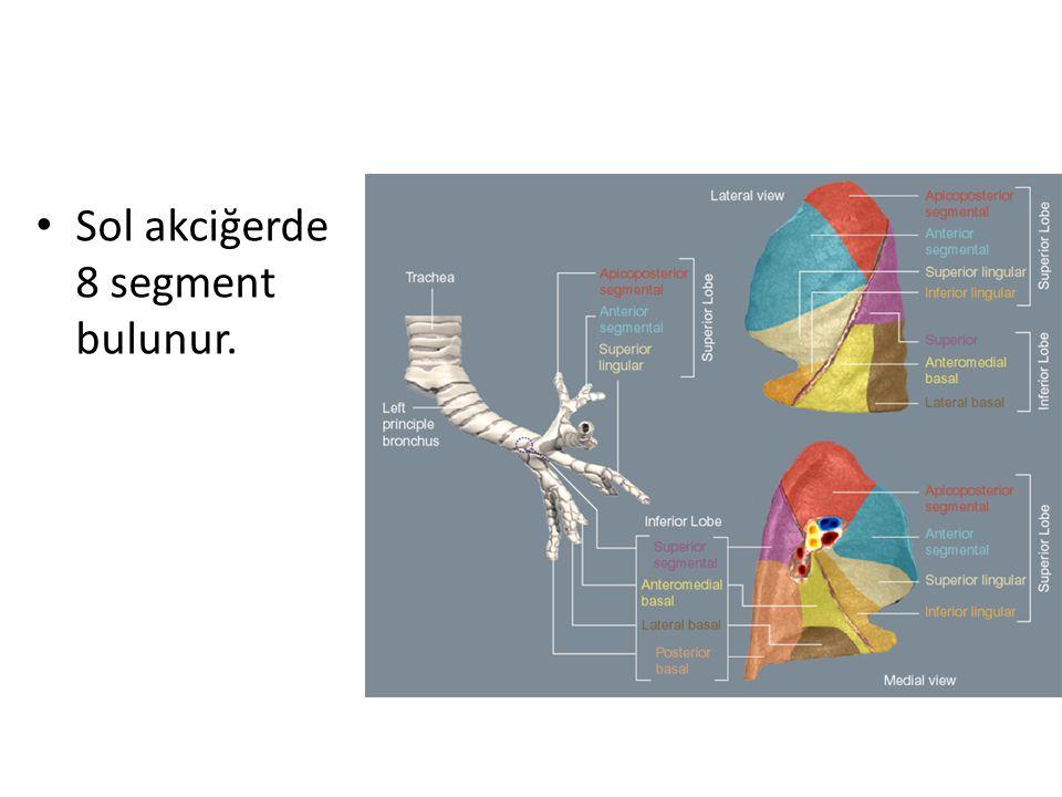 Sol akciğerde 8 segment bulunur.