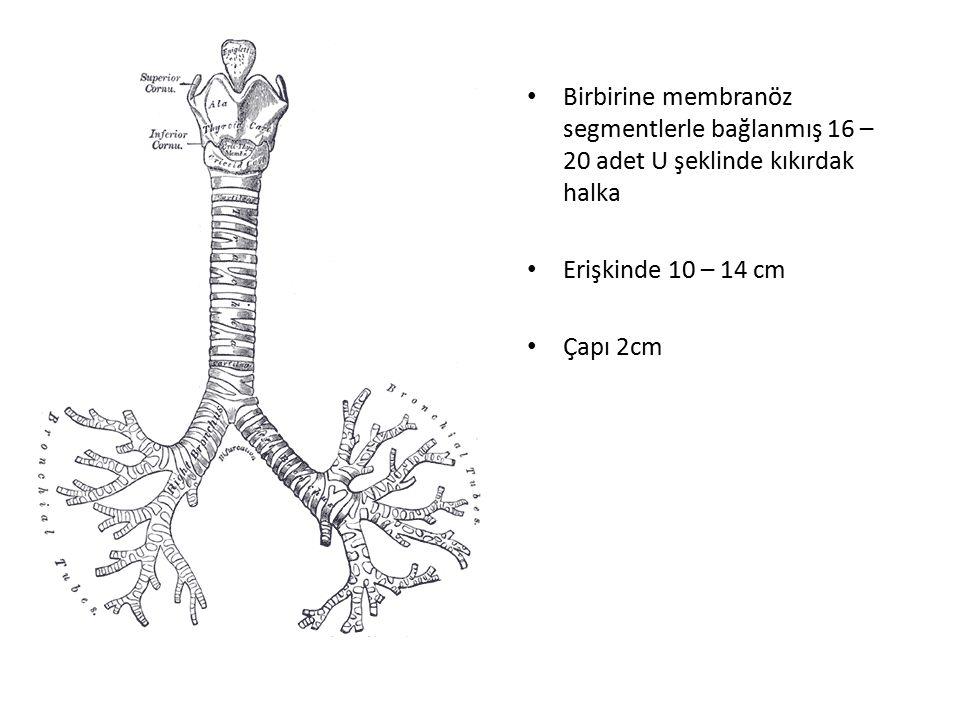 Birbirine membranöz segmentlerle bağlanmış 16 – 20 adet U şeklinde kıkırdak halka Erişkinde 10 – 14 cm Çapı 2cm