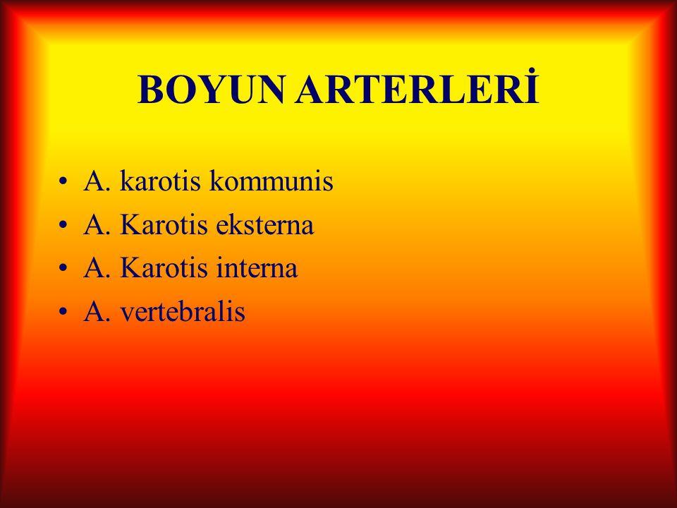 BOYUN ARTERLERİ A. karotis kommunis A. Karotis eksterna A. Karotis interna A. vertebralis