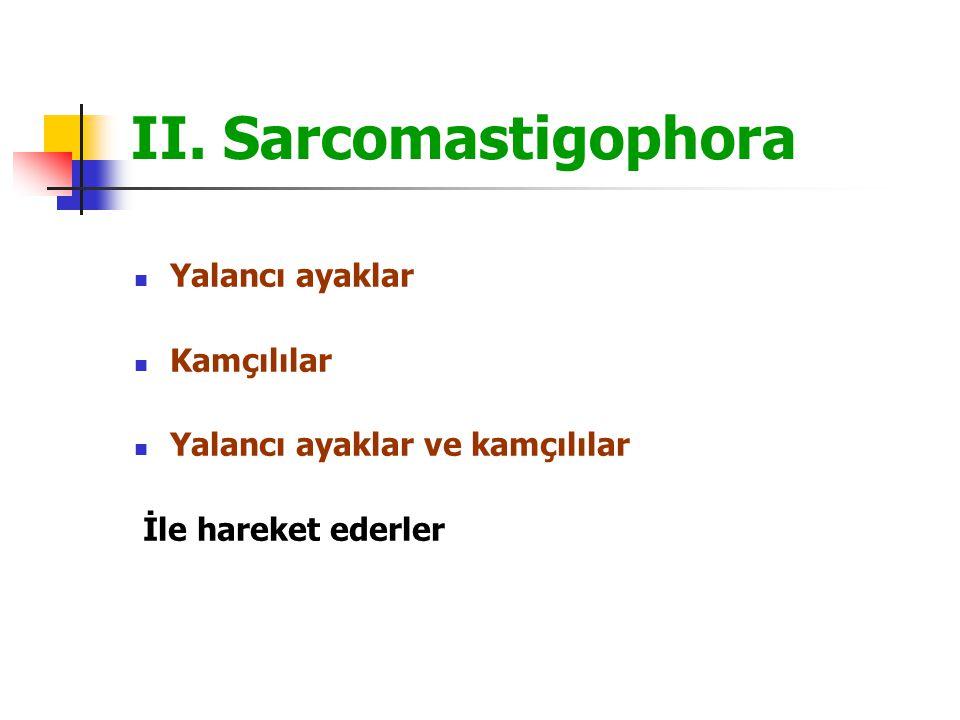 II. Sarcomastigophora Yalancı ayaklar Kamçılılar Yalancı ayaklar ve kamçılılar İle hareket ederler