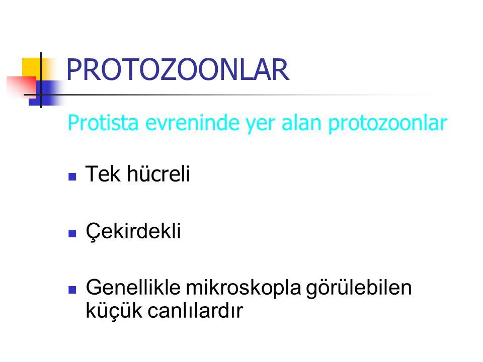 PROTOZOONLAR Protista evreninde yer alan protozoonlar Tek hücreli Çekirdekli Genellikle mikroskopla görülebilen küçük canlılardır