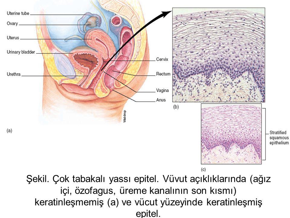 Şekil. Çok tabakalı yassı epitel. Vüvut açıklıklarında (ağız içi, özofagus, üreme kanalının son kısmı) keratinleşmemiş (a) ve vücut yüzeyinde keratinl