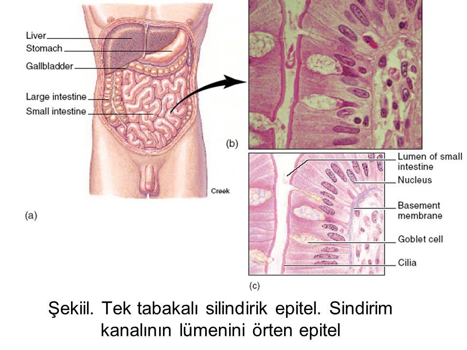 Şekil.Basit silli silindirik epitel. Uterus tüpünün lümenini örten epitel.