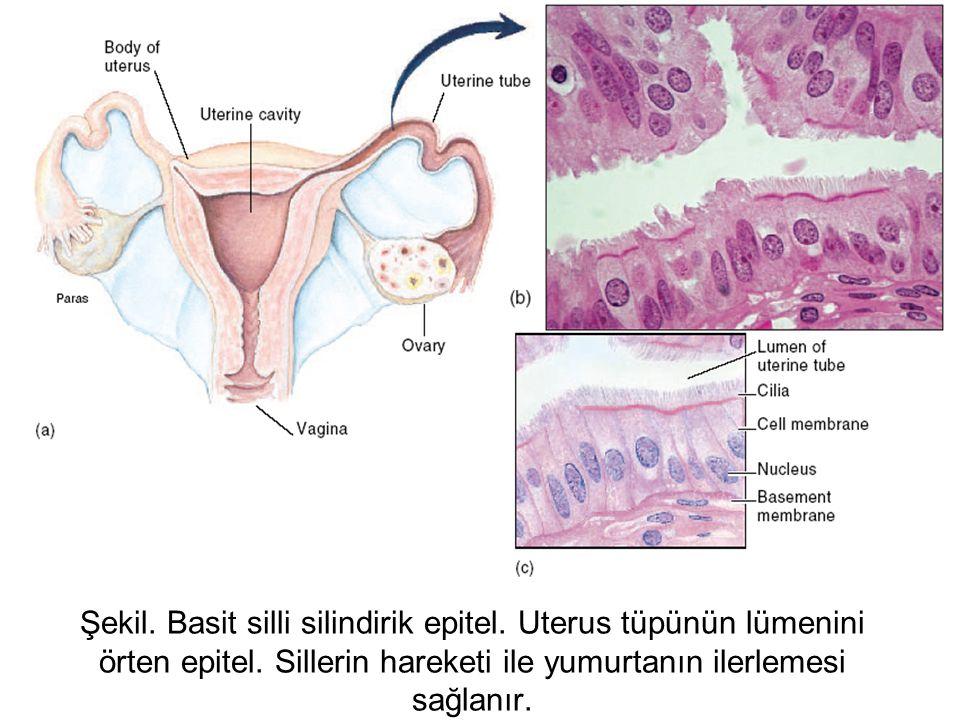 Şekil. Basit silli silindirik epitel. Uterus tüpünün lümenini örten epitel. Sillerin hareketi ile yumurtanın ilerlemesi sağlanır.