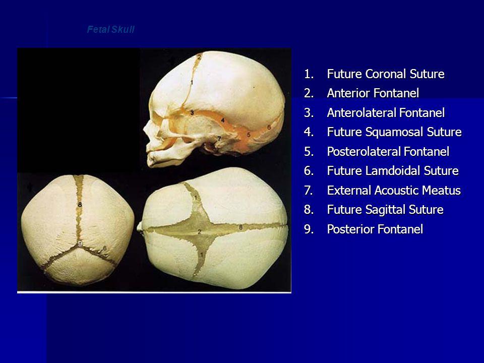 Fetal Skull1. Future Coronal Suture 2. Anterior Fontanel 3. Anterolateral Fontanel 4. Future Squamosal Suture 5. Posterolateral Fontanel 6. Future Lam