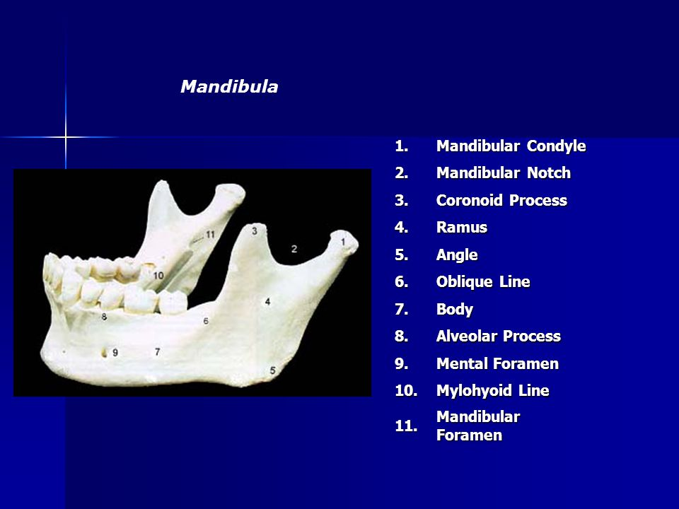 1. Mandibular Condyle 2. Mandibular Notch 3. Coronoid Process 4.Ramus 5.Angle 6. Oblique Line 7.Body 8. Alveolar Process 9. Mental Foramen 10. Mylohyo