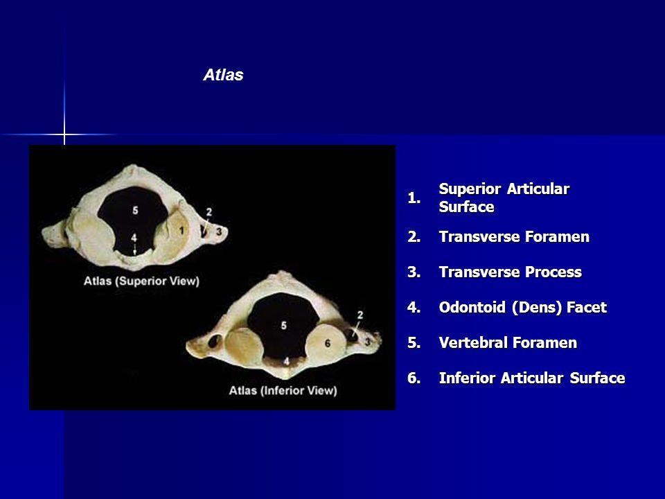 1. Superior Articular Surface 2. Transverse Foramen 3. Transverse Process 4. Odontoid (Dens) Facet 5. Vertebral Foramen 6. Inferior Articular Surface