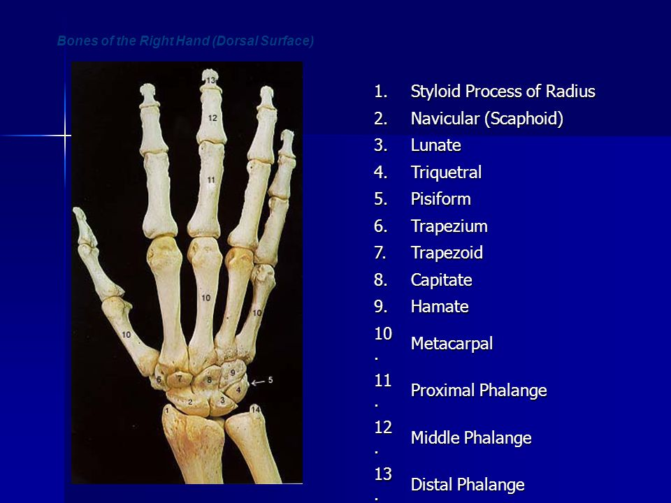 Bones of the Right Hand (Dorsal Surface)1.Styloid Process of Radius 2.