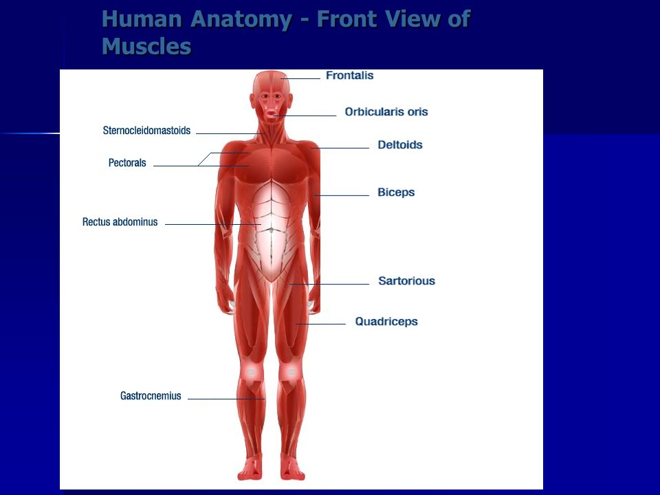 Human Anatomy - Front View of Muscles