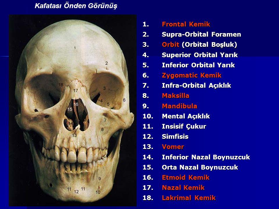 1. Frontal Kemik 2. Supra-Orbital Foramen 3. Orbit (Orbital Boşluk) 4. Superior Orbital Yarık 5. Inferior Orbital Yarık 6. Zygomatic Kemik 7. Infra-Or